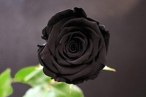 Inauguration Entreprise 100e - Cadeau De Départ Rose Noire